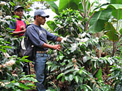 two men checking coffee plant