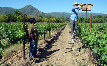 Julie on ladder checking bird box in vineyard
