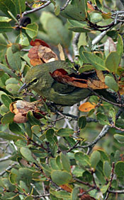 small greenish-yellow bird in oak tree