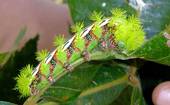 Large caterpillar with lime-green spikes munching on a leaf