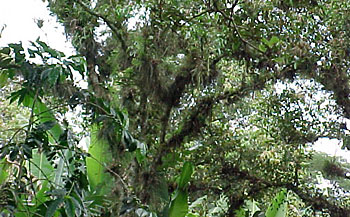 Tree branches covered in epiphytes