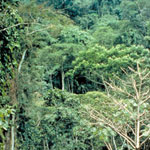 Dense forest with understory of coffee shrubs