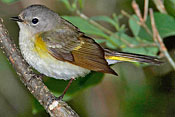 Small gray and white bird with yellow in wings and tail