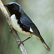 Small bird with black throat, blue head and back, and white belly.