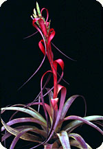 plant with red flower spike