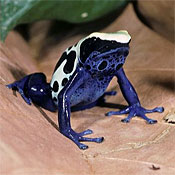 Brightly-colored frog