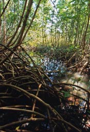Mangrove habitat of the northern waterthrush
