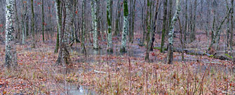 flooded forest, rusty blackbird winter habitat