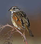 The dark back, black forehead and dark eyestripe of the coastal plain swamp sparrow distinguish it from other swamp sparrows. This photo was taken at the Bombay Hook National Wildlife Refuge in Delaware. © Gerhard Hofmann