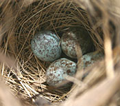 A swamp sparrow nest containing 4 eggs. © John Barrat