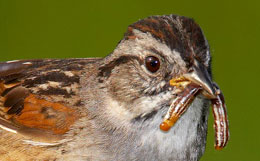 sparrow closeup showing brownish crown and blackish forehead