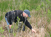 Seconds after hearing a female swamp sparrow's nest departure call, Russell Greenberg locates her nest in dry marsh grass at the Woodland Beach Wildlife Area. © John Barrat