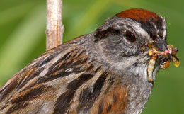 sparrow closeup showing bright rusty crown and solid black forehead