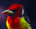 Red-headed Barbet, a tropical bird