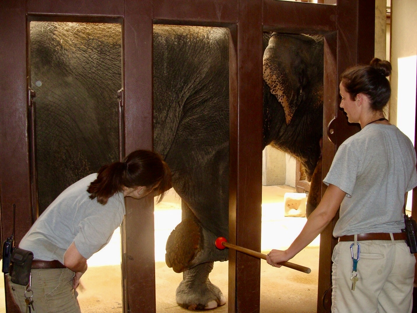 Elephant training and health inspection