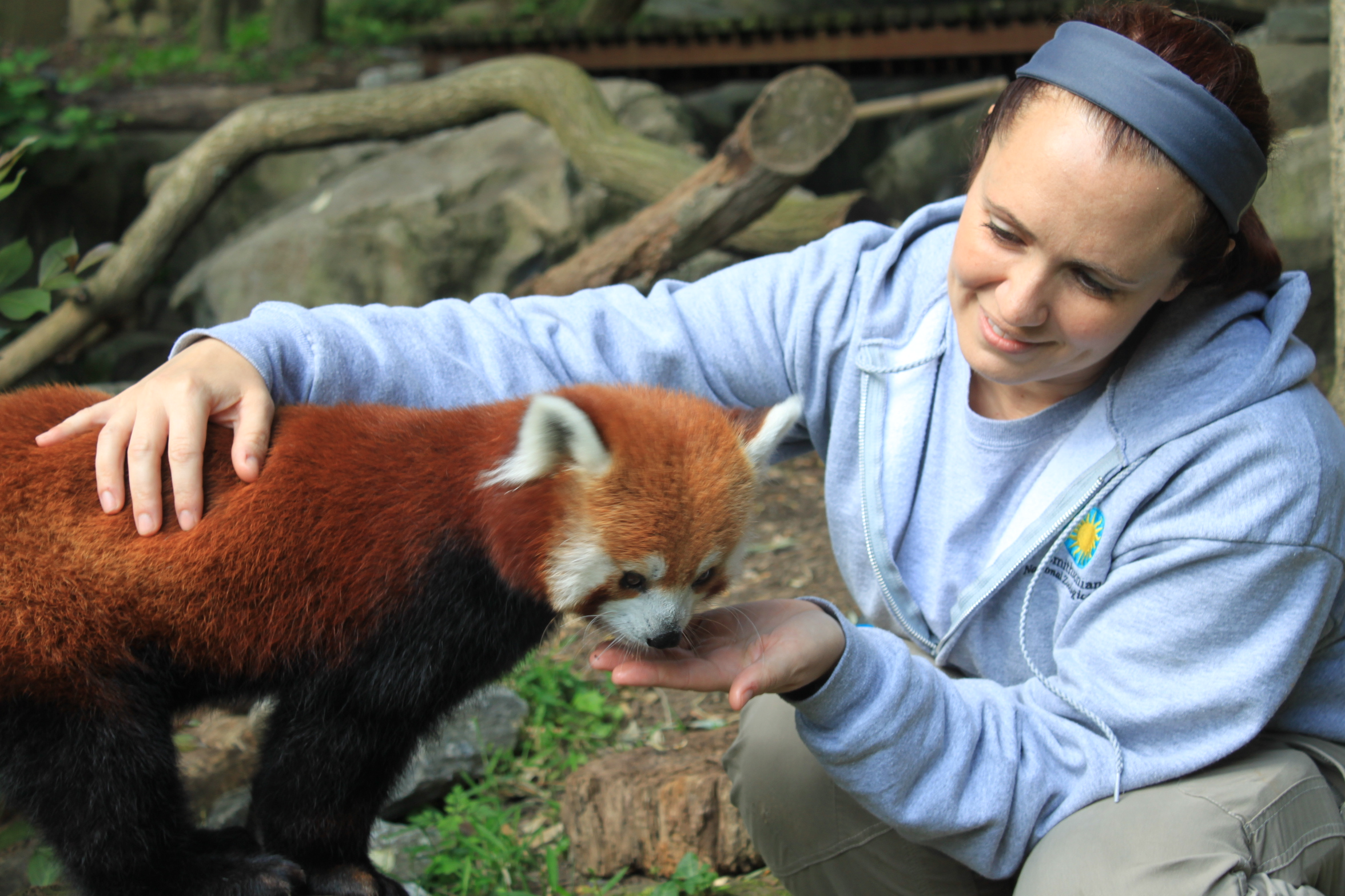 Assessing a red panda's body condition