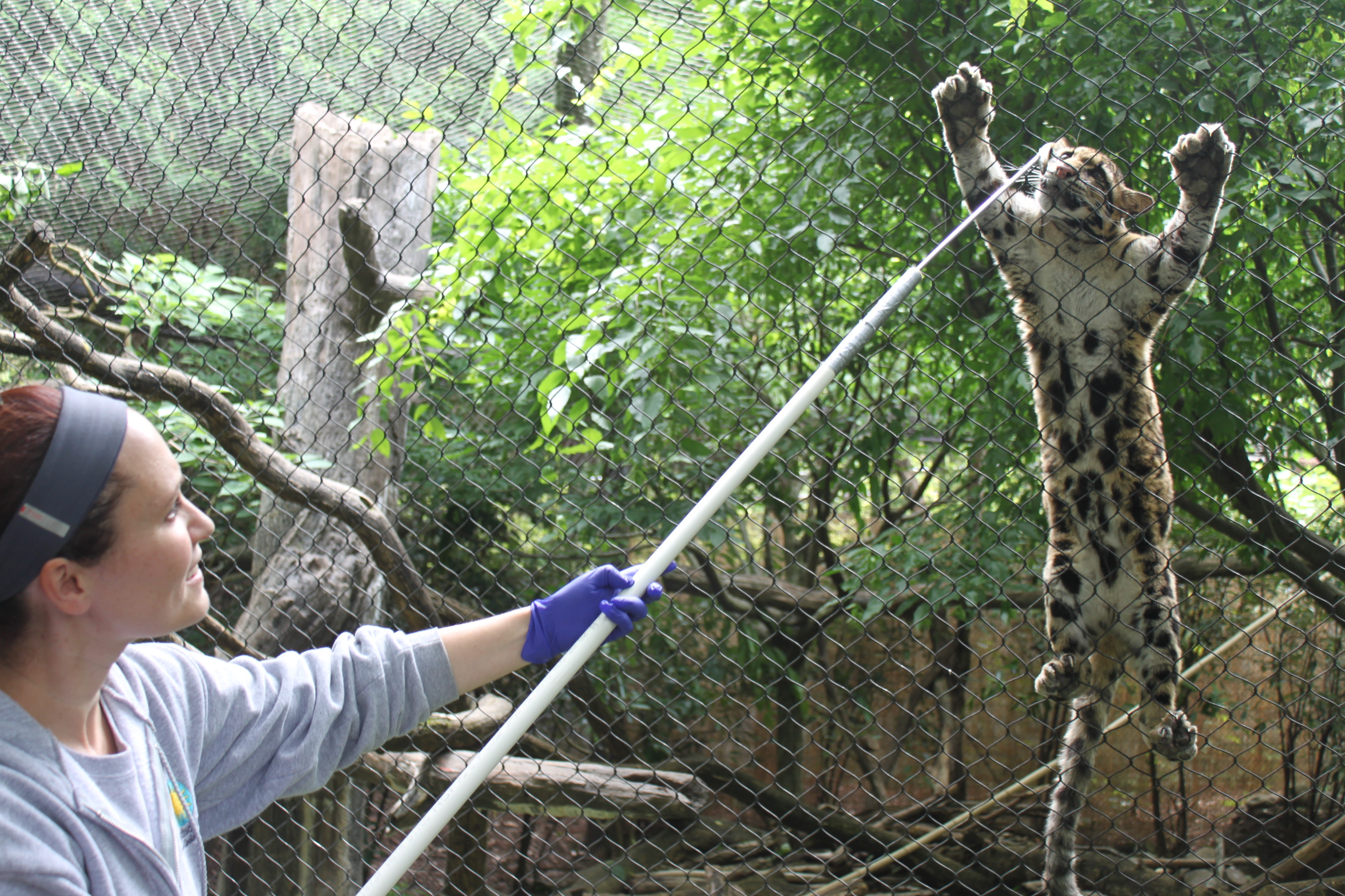 Clouded leopard training
