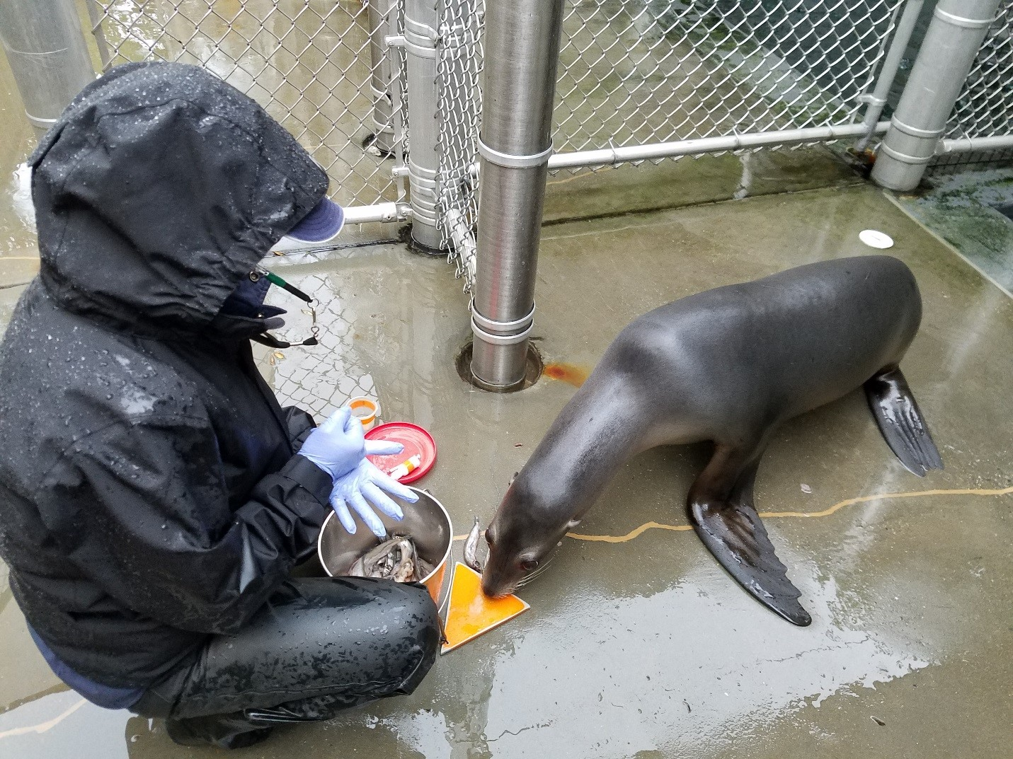 Training with sea lion Sidney in the rain