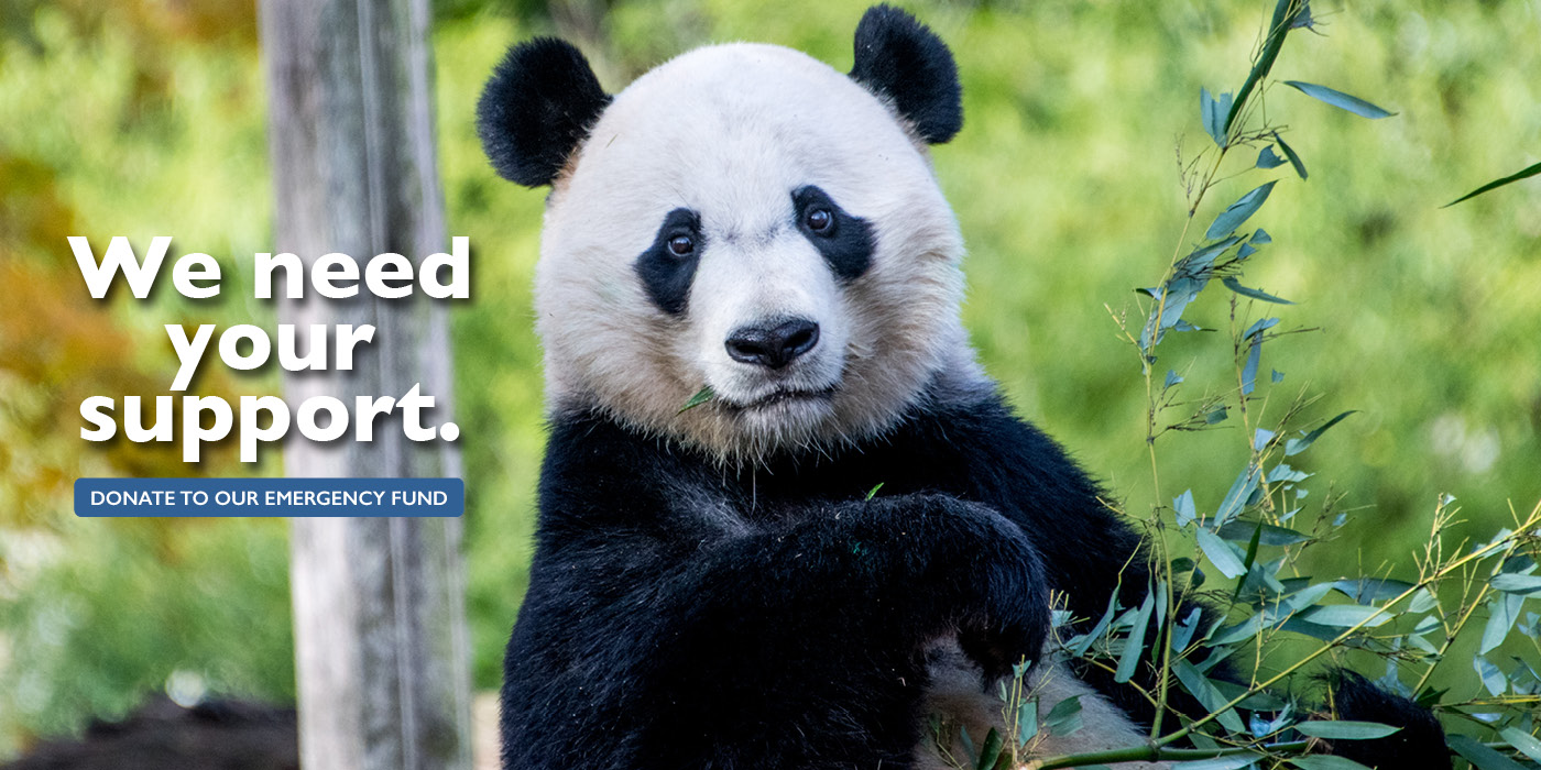 """A giant panda with bamboo. The words """"We need your support: Donate to our emergency fund"""""""