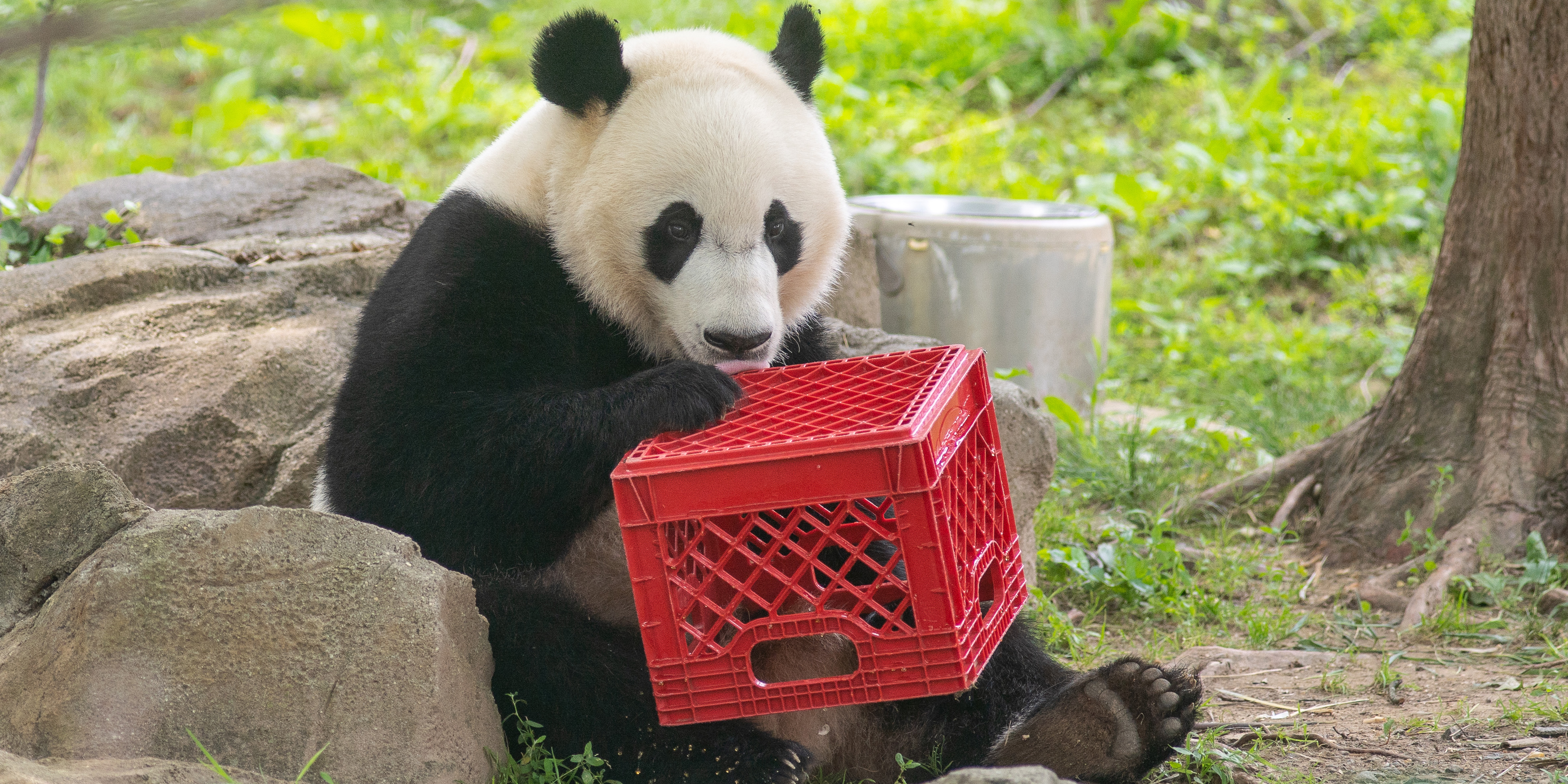 giant panda holding enrichment crate