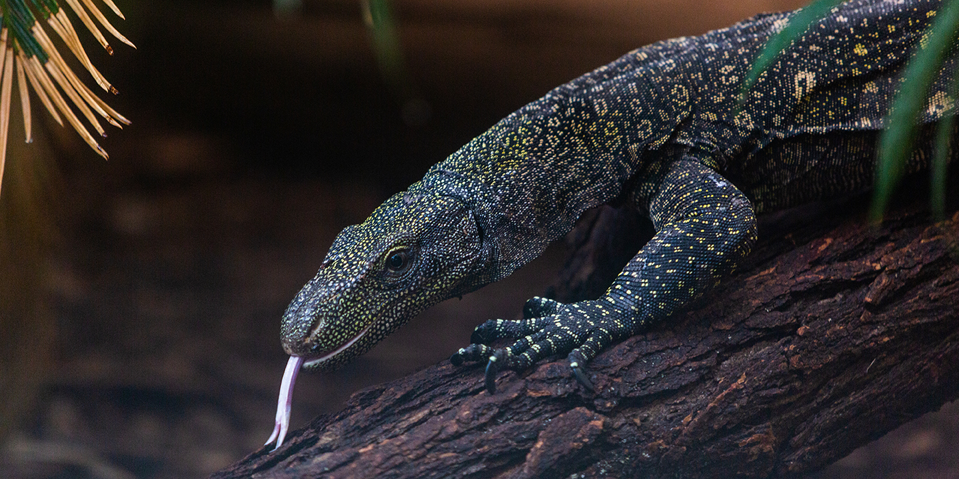 A large reptile, called a crocodile monitor, climbs over a log. It has long, curved claws, a lean body, scaly, spotted skin, and its forked tongue is sticking out.