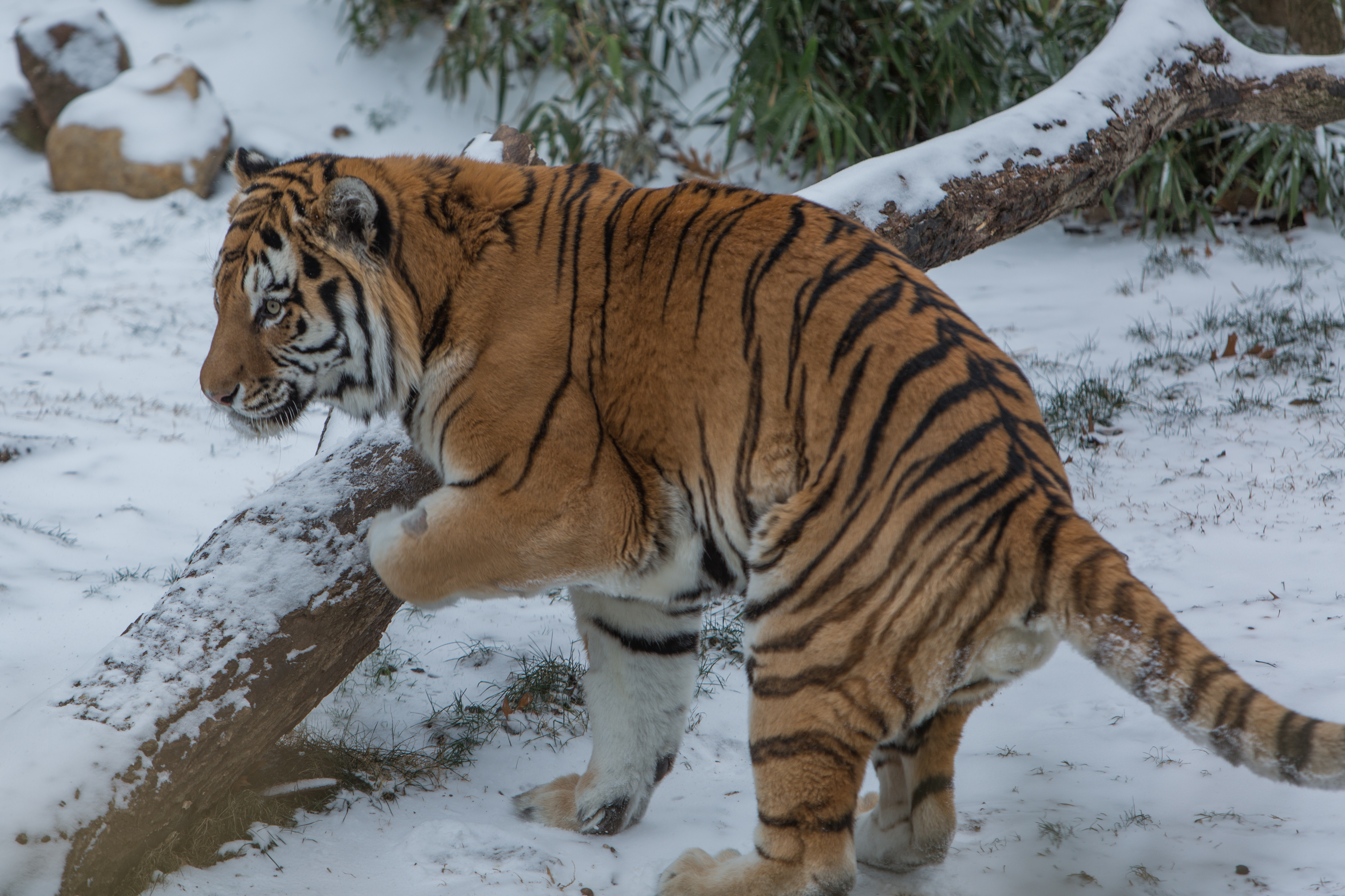 Amur tiger Pavel