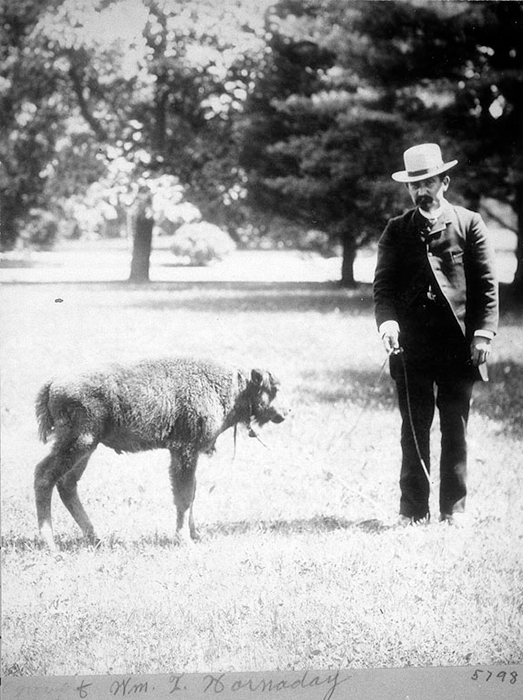 William Temple Hornaday standing with bison calf