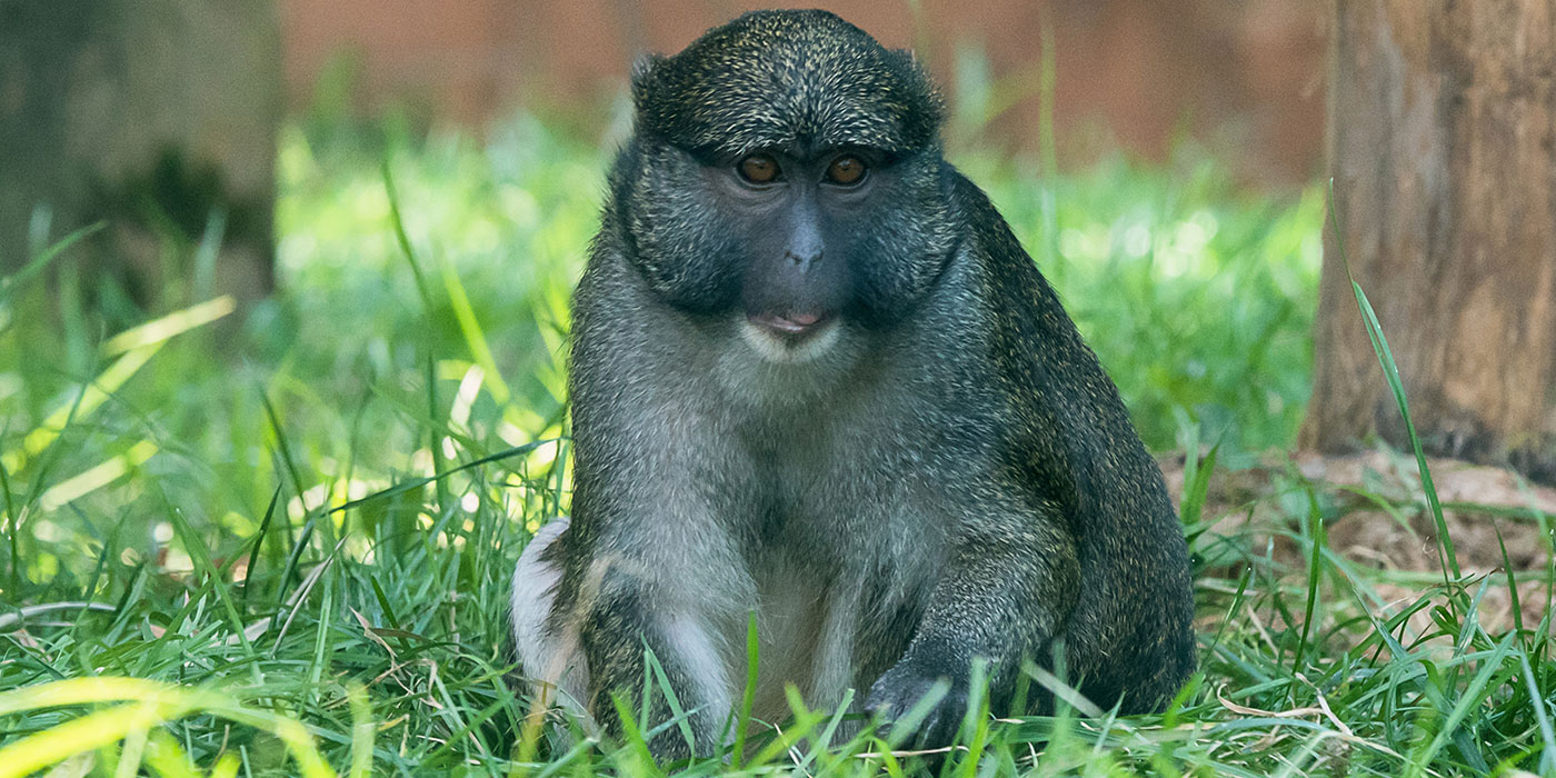 An Allen's swamp monkey with thick gray fur seated in the grass