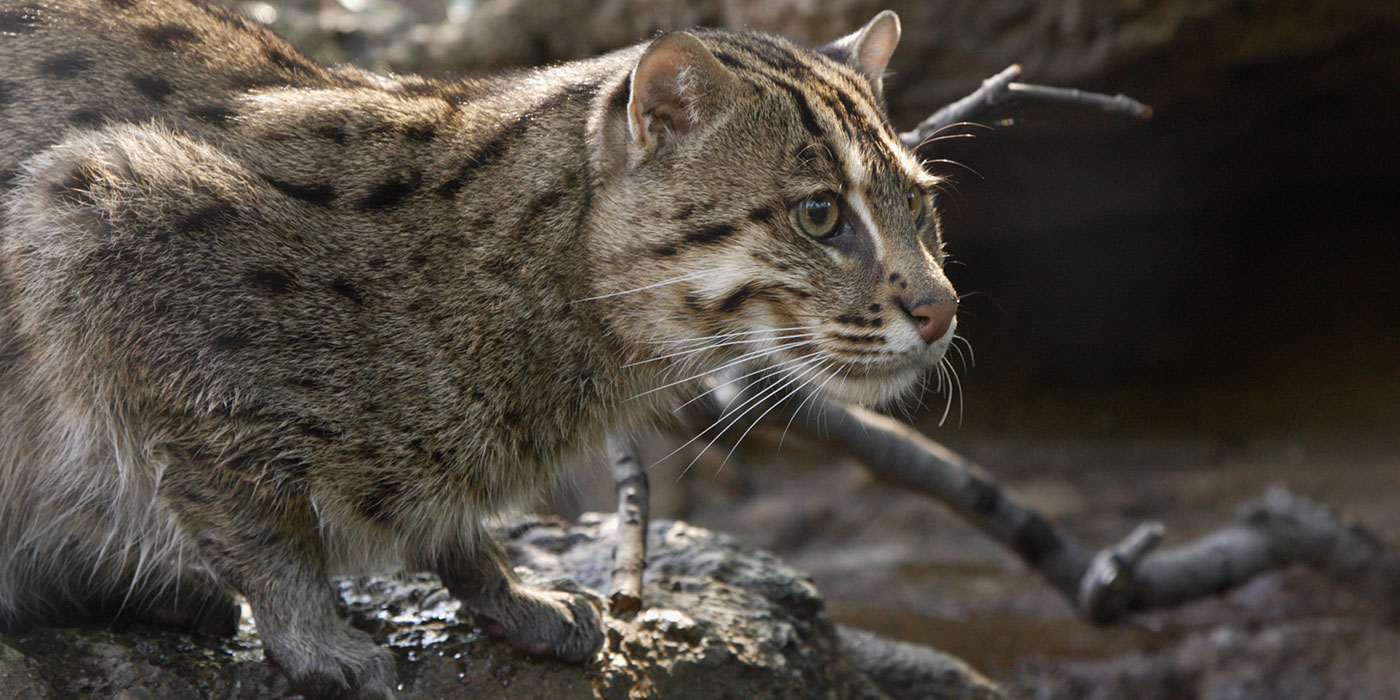 A medium-sized cat with thick fur with dark spots and stripes hunches down on a rock near water