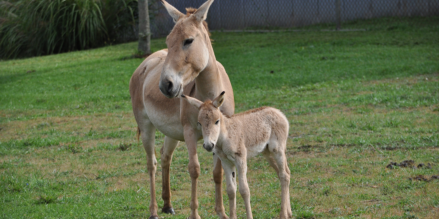 Picture Of Animals Of National Zoo additionally G 6lmg3a69edu8n1e3cfuv0a0 likewise Horse Mating With Donkey likewise ment Page 1 further Forest Musk Deer Lesser Malayan. on baby onager