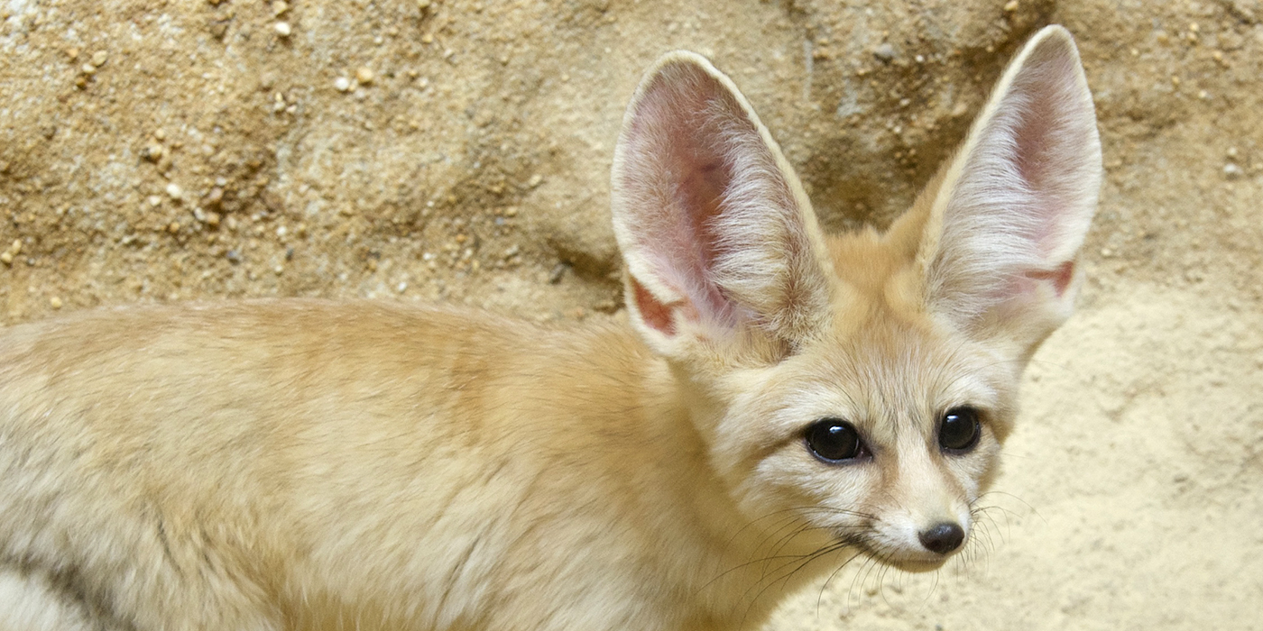Fennec Fox Smithsonian S National Zoo