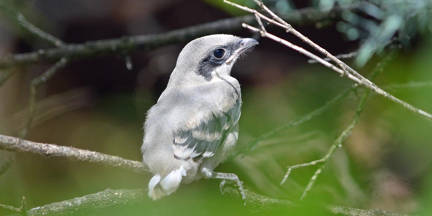 A loggerhead shrike perched on a branch
