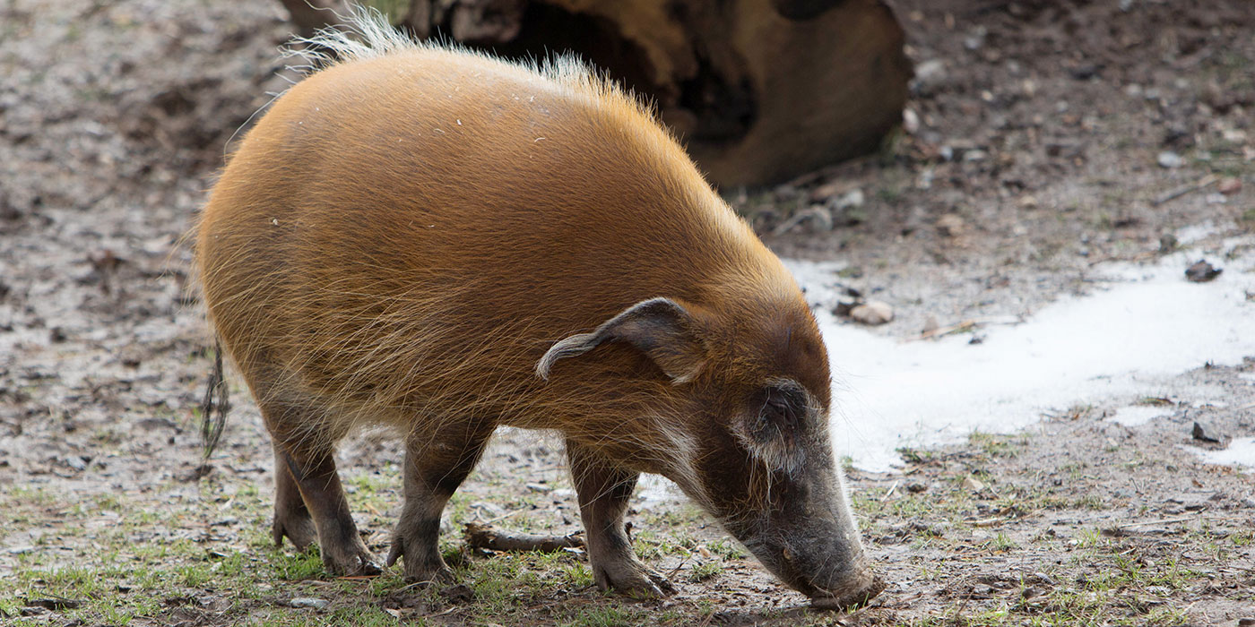 A red river hog with a long snout, tufts of hair extending from its ears, a round body, a short tail and stout legs smells the ground