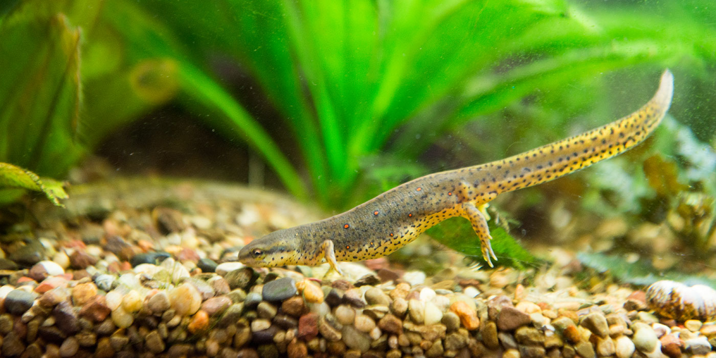 A small, spotted eastern newt swims toward gravel at the base of its aquarium