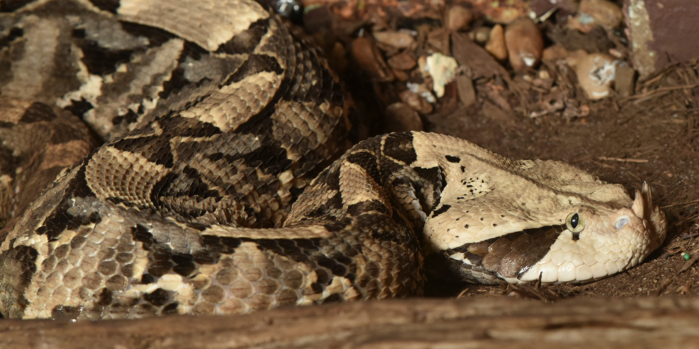 A snake with a cream, gray and black pattern and two small horns on the tip of its snout, called a gaboon viper.