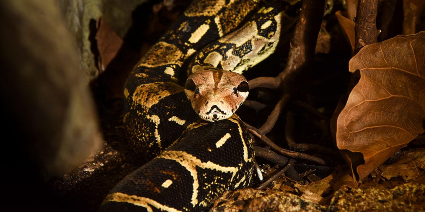 Boa Constrictor Smithsonian S National Zoo