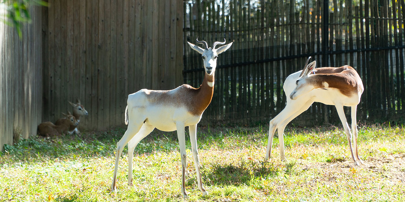Two dama gazelles with short, curled horns and long legs stand in the grass in the sun