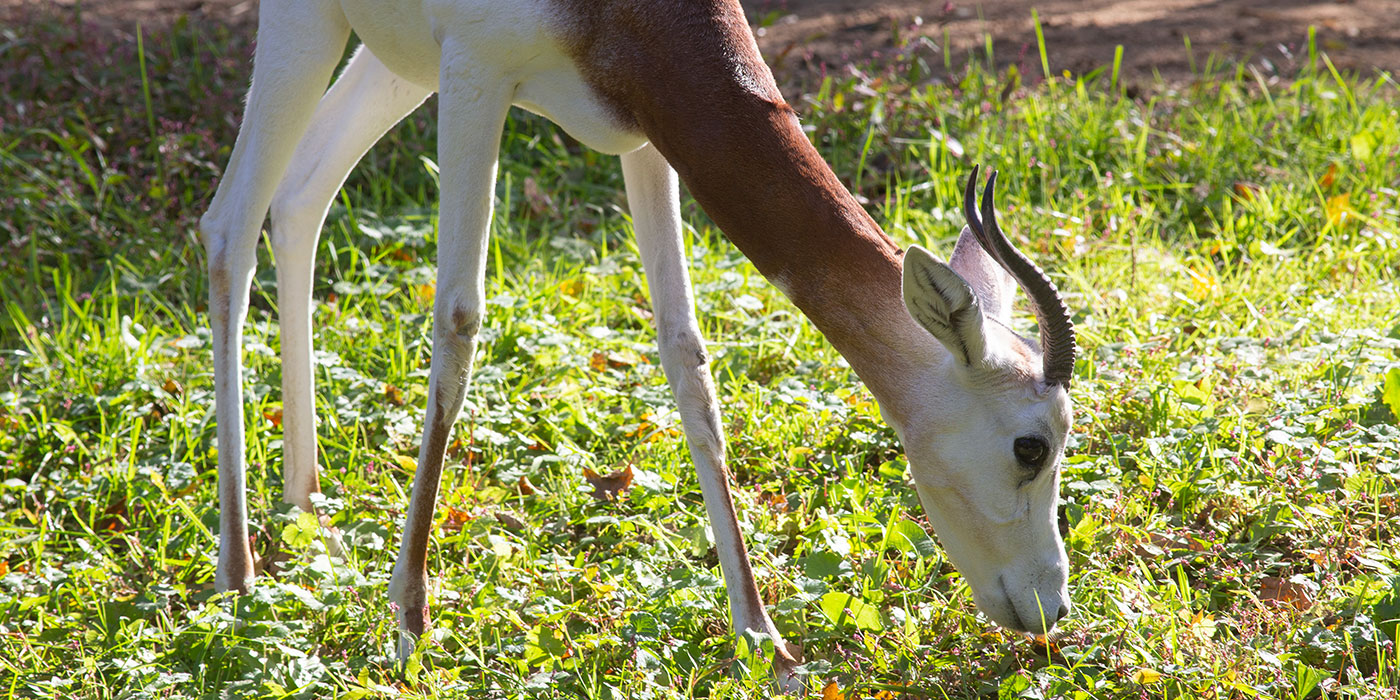 A dama gazelle with short, curled horns and long legs grazes on grass in the sun