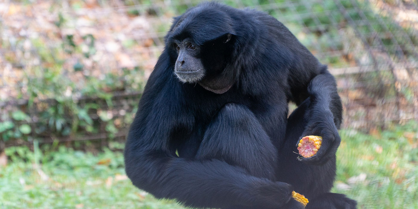 A medium-sized, black-furred gibbon, called a siamang, perched on a tree stump holding a piece of corn in each hand
