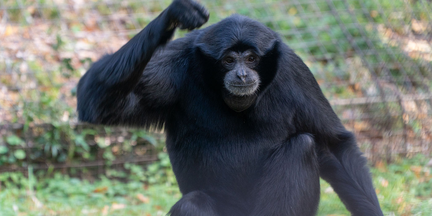 A medium-sized, black-furred gibbon, called a siamang, perched on a log with one hand raised above its head