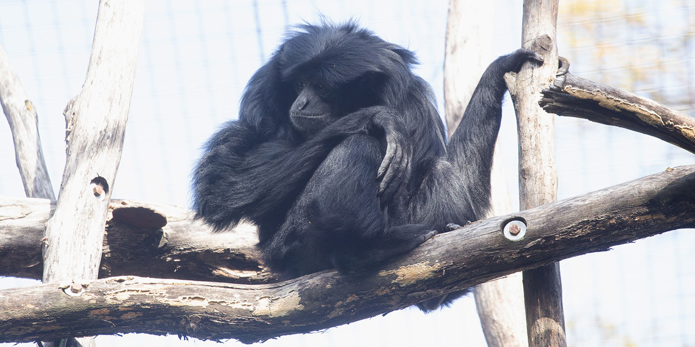 A medium-sized, black-furred gibbon, called a siamang, perched on a branch with one hand resting on its leg and the other holding onto a separate branch