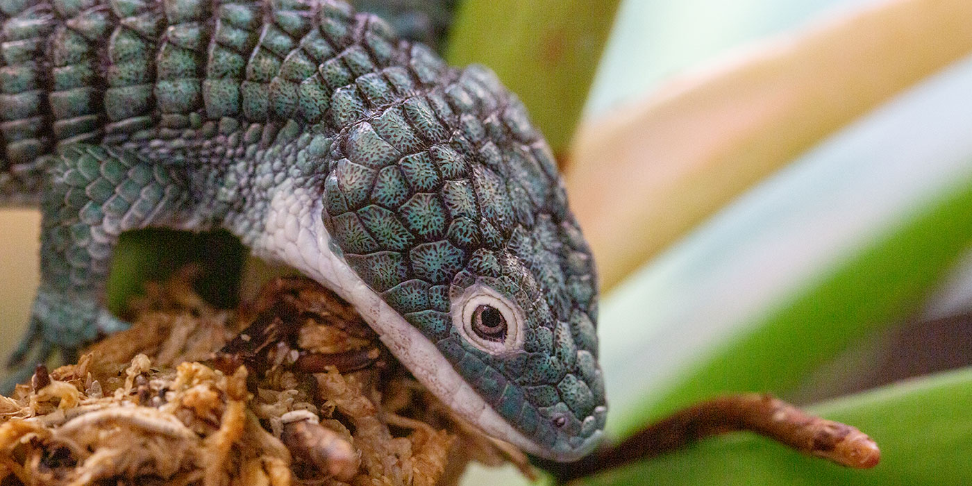 A small lizard, called an alligator lizard, with thick blue-green scales, a white chin and short arms climbs on a green plant