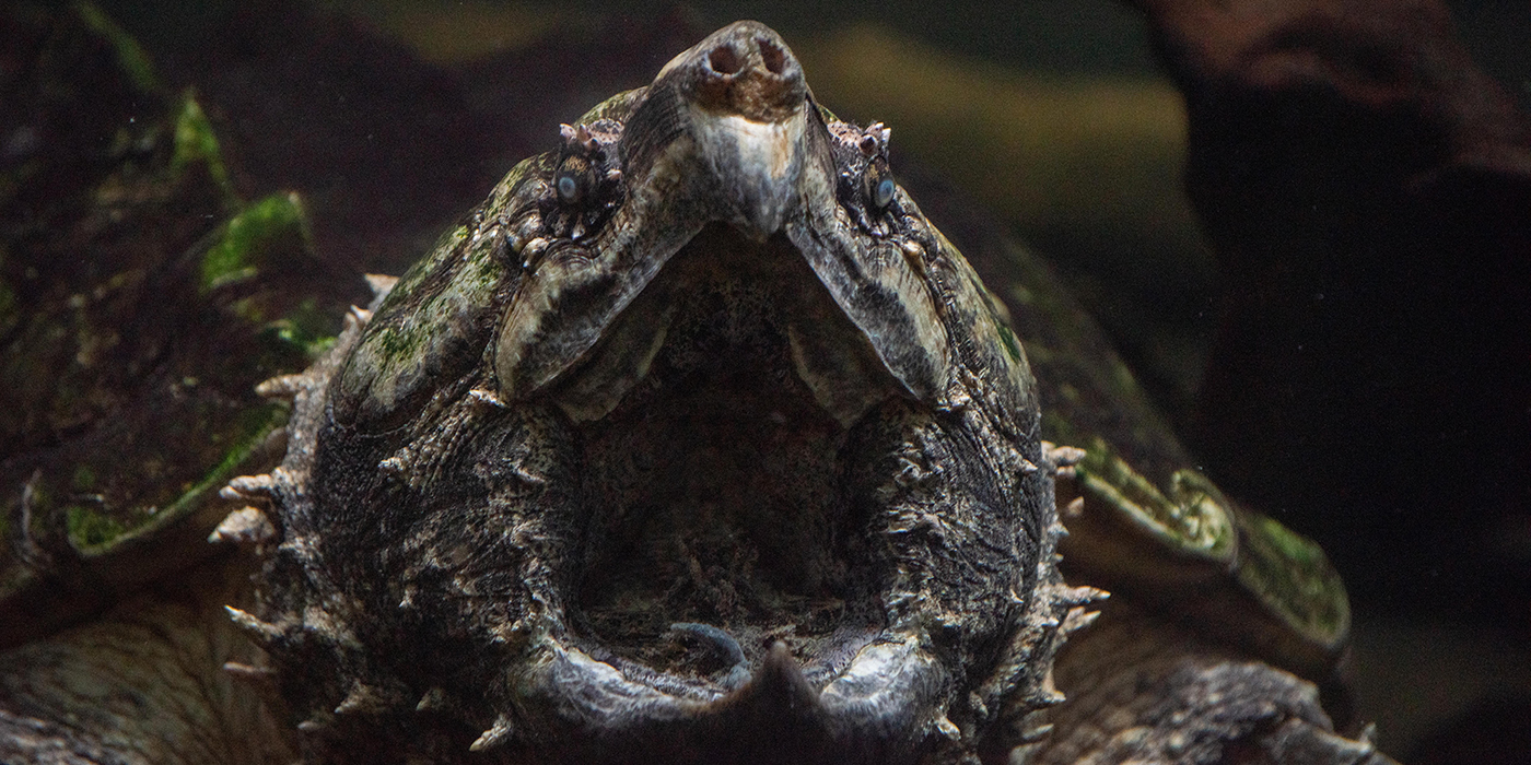An alligator snapping turtle with its wide mouth open. The turtle has thick skin with spikes, small eyes and large nostrils.