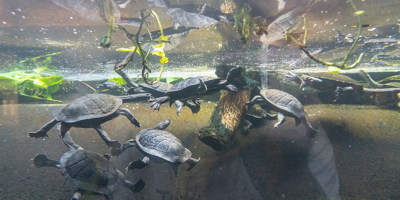 A group of Australian snake-necked turtles with webbed feet, long, slender necks and round, flattened shells swim underwater near the surface where green plants float