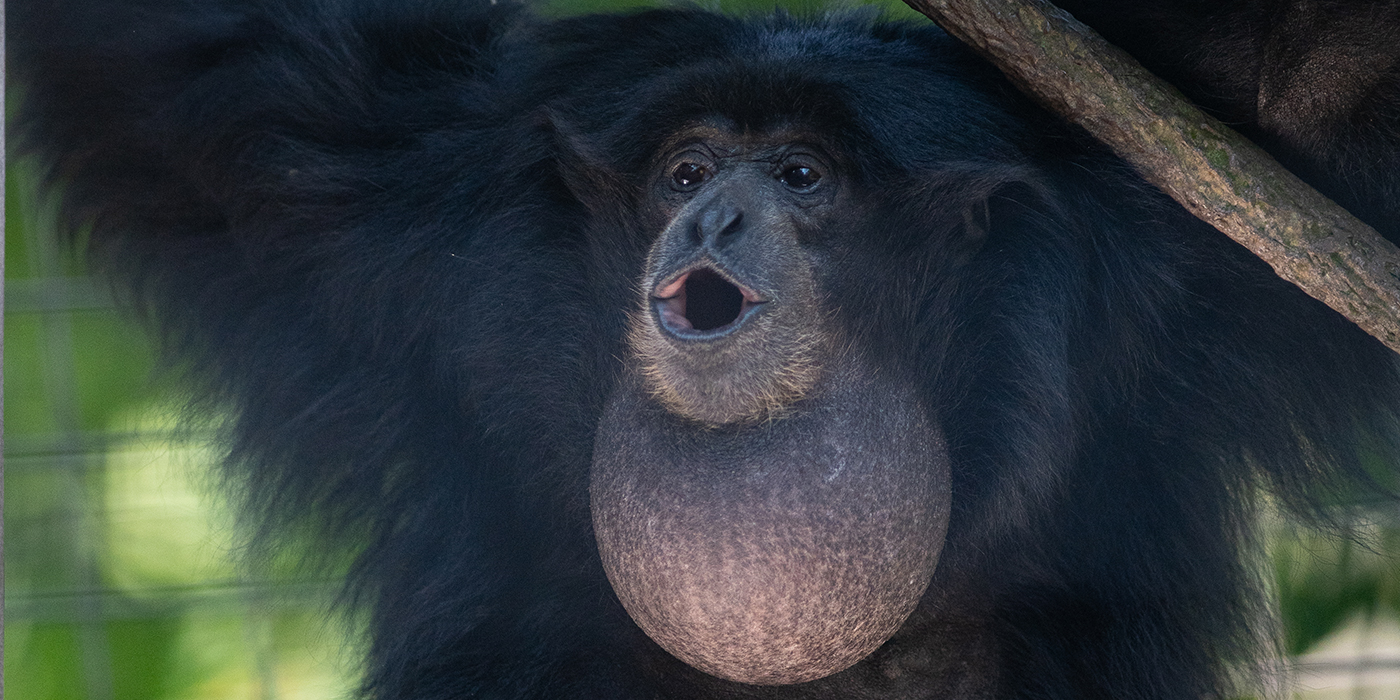 A primate, called a siamang, with thick black fur, long limbs and a large, round throat sack opens its mouth to make a vocalization