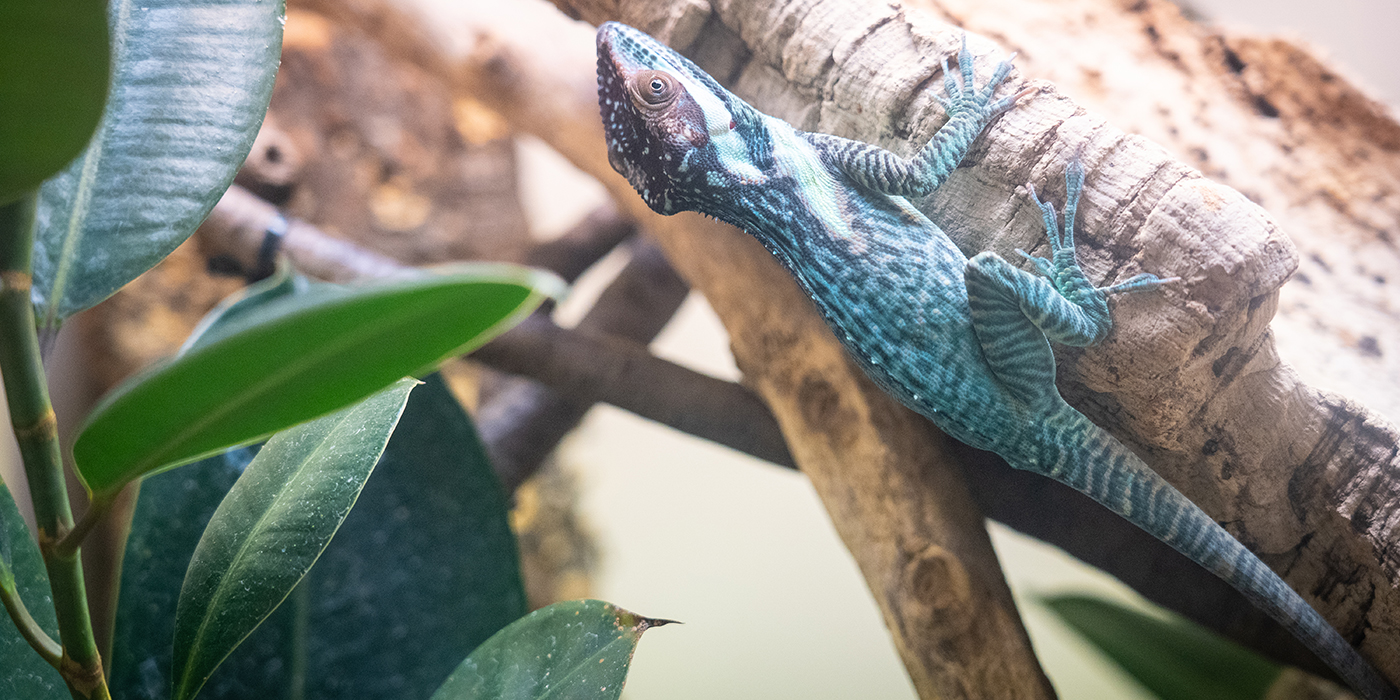 A small lizard called a Smallwood's anole crawls along the side of a piece of wood. It has blue-green mottled, scaly skin, small eyes and long digits with claws.