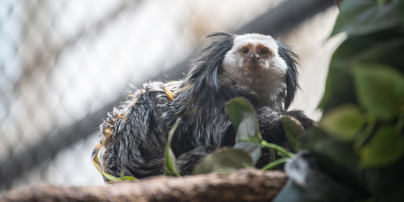 A small monkey, called a Geoffroy's marmoset, perched on a tree branch. The monkey has long fur black, orange and white fur and long tufts of fur on either side of its face.