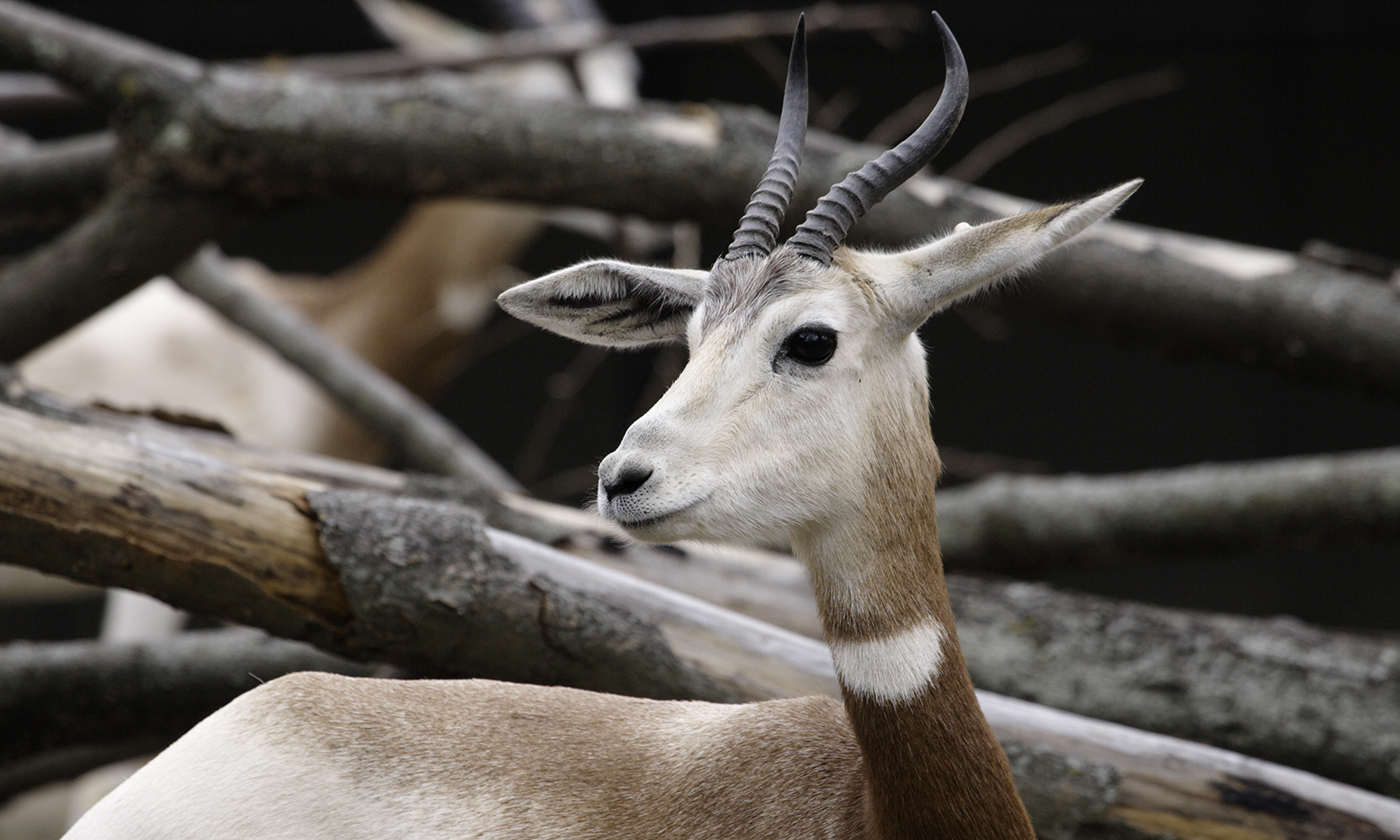Addra Gazelle in front of branches