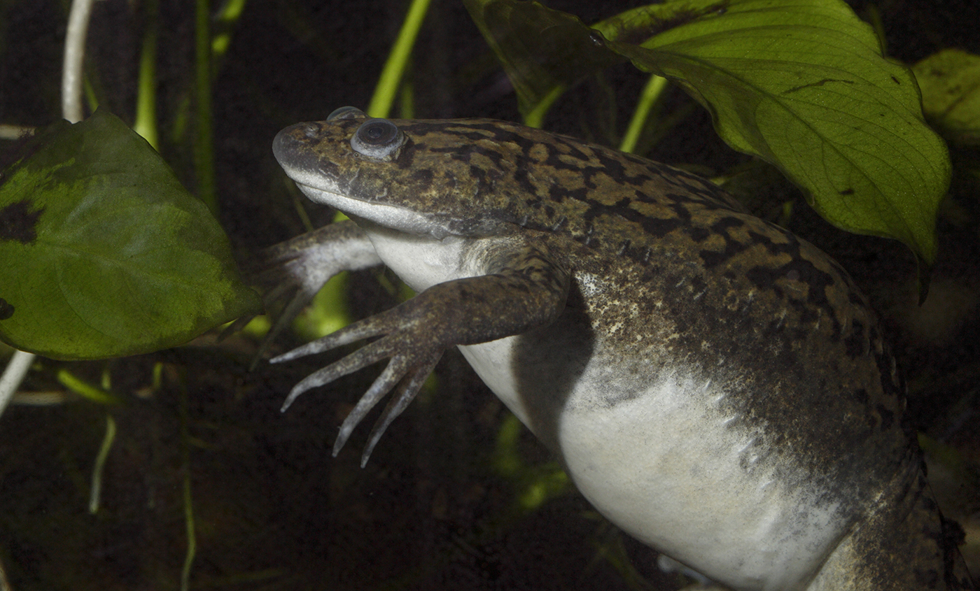 Olive and black frog resting underwater. Its underparts are white, flat head, & front legs have extremely long, pointed fingers
