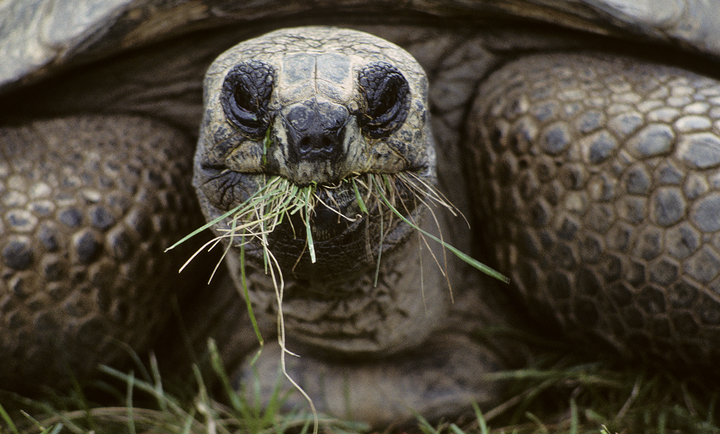 aldabra tortoise munching on grass